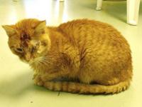 Domestic Short Hair - Moe - Medium - Adult - Male -