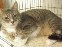 Domestic Short Hair - Mokie - Medium - Adult - Female -