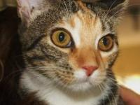 Domestic Short Hair - Molly - Medium - Young - Female -