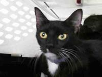 Domestic Short Hair - Molly Moo - Medium - Young -