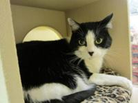 Domestic Short Hair - Molly - Small - Adult - Female -