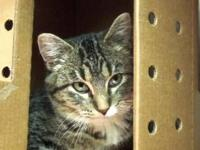 Domestic Short Hair - Molly - Small - Young - Female -