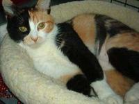 Domestic Short Hair - Momma - Medium - Adult - Female -