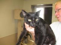 Domestic Short Hair - Mona - Large - Adult - Female -
