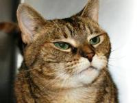 Domestic Short Hair - Monica - Medium - Adult - Female