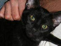 Domestic Short Hair - Monkey - Medium - Young - Male -