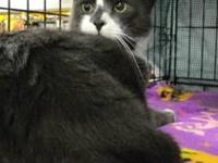 Domestic Short Hair - Monte - Medium - Adult - Male -