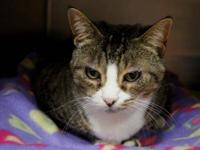 Domestic Short Hair - Ms Butterworth - Large - Adult -