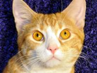Domestic Short Hair - Mufasa - Medium - Young - Male -