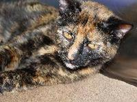 Domestic Short Hair - Muriel - Medium - Adult - Female