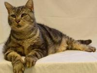 Domestic Short Hair - Murphy - Extra Large - Adult -