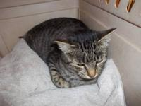 Domestic Short Hair - Nameless - Small - Adult - Female