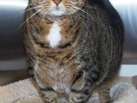 Domestic Short Hair - Nancy - Extra Large - Adult -