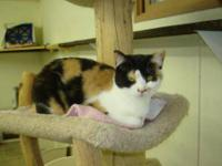 Domestic Short Hair - Nancy - Medium - Young - Female -
