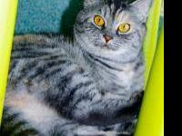 Domestic Short Hair - Nani - Medium - Adult - Female -