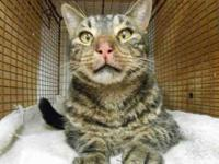 Domestic Short Hair - Nevin - Large - Adult - Male -