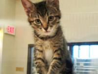 Domestic Short Hair - Newman - Small - Baby - Male -
