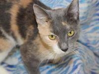 Domestic Short Hair - Nicki - Medium - Young - Female -