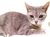 Domestic Short Hair - Nikko *free To Approved Home* -