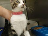 Domestic Short Hair - Nina - Medium - Adult - Female -