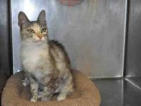 Domestic Short Hair - Nova - Small - Young - Female -