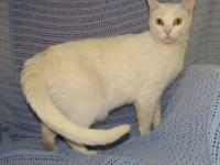 Domestic Short Hair - O'hanna - Medium - Adult - Female