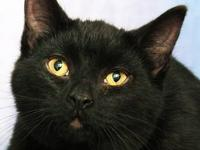 Domestic Short Hair - O.j. - Small - Young - Male -
