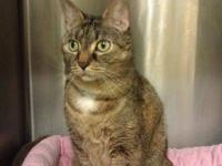 Domestic Short Hair - Off Site Foster 1210-1161 Sheree