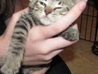 Domestic Short Hair - Older Kittens - Small - Young -