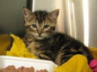 Domestic Short Hair - Ollie - Small - Baby - Female -
