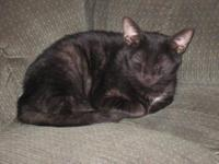Domestic Short Hair - Onyx - Medium - Young - Female -