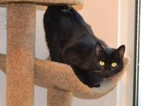 Domestic Short Hair - Opal - Small - Young - Female -