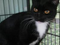 Domestic Short Hair - Oprah - Medium - Adult - Female -
