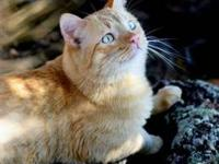 Domestic Short Hair - Orange Are you looking for an