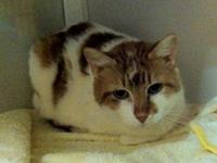 Domestic Short Hair - Orange and white - 228 Cat Kacy -