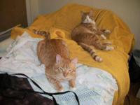Domestic Short Hair - Orange and white - Alex And Mason