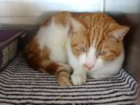 Domestic Short Hair - Orange and white - Alley - Small