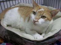 Domestic Short Hair - Orange and white - Aphrodite -