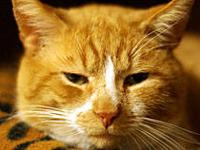 Domestic Short Hair - Orange and white - Baxter -