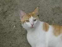 Domestic Short Hair - Orange and white - Buddy - Small