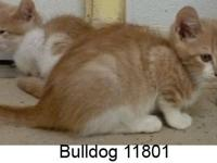 Domestic Short Hair - Orange and white - Bulldog 11801