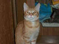Domestic Short Hair - Orange and white - Buttercup -