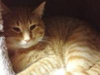 Domestic Short Hair - Orange and white - C13-162 -