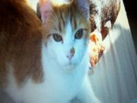 Domestic Short Hair - Orange and white - Caicos -