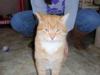 Domestic Short Hair - Orange and white - Calvin - Small