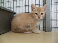 Domestic Short Hair - Orange and white - Candy Corn -