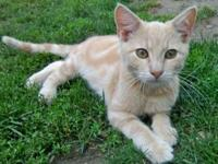Domestic Short Hair - Orange and white - Casper - Large