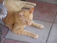 Domestic Short Hair - Orange and white - Catnip -