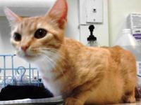 Domestic Short Hair - Orange and white - Charlie -