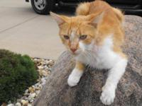 Domestic Short Hair - Orange and white - Chevy - Small